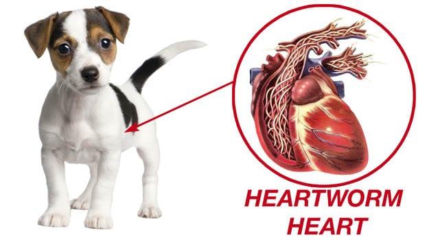 Gusano del Corazón